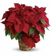 Red Pointsettia