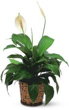 Small Spathiphyllum Plant