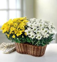 "Two 6"" Blooming Plants in a Basket"