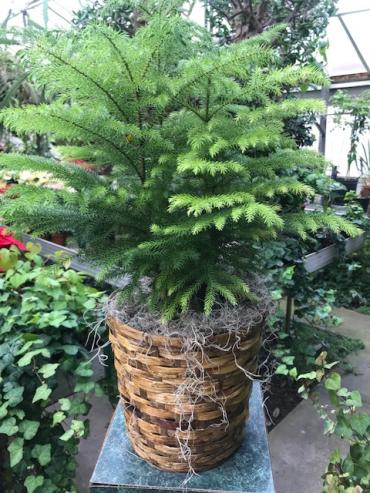 Norfolk Pine in a Basket